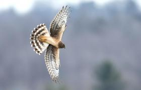Northern Harrier. Photo: Diana Whiting/Audubon Photography Awards