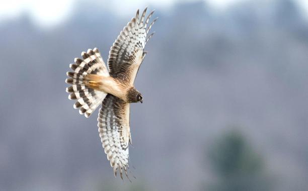 Northern Harrier. Photo: Diana Whiting/Audubon Photography Awards